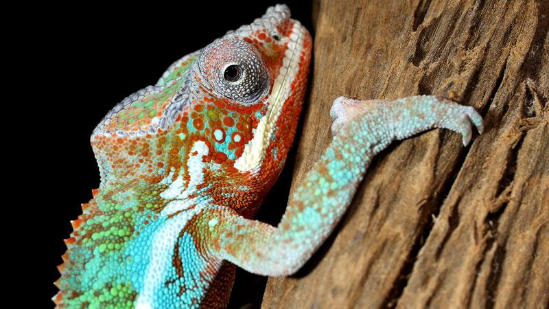 Chameleons Change Color to Stand Out, Not BlendIn