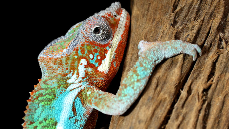 Chameleons Change Color to Stand Out Not Blend In_kqed pbs (6)