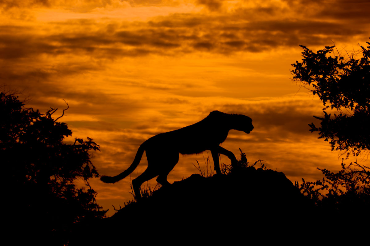 Cheetah_at_Sunset