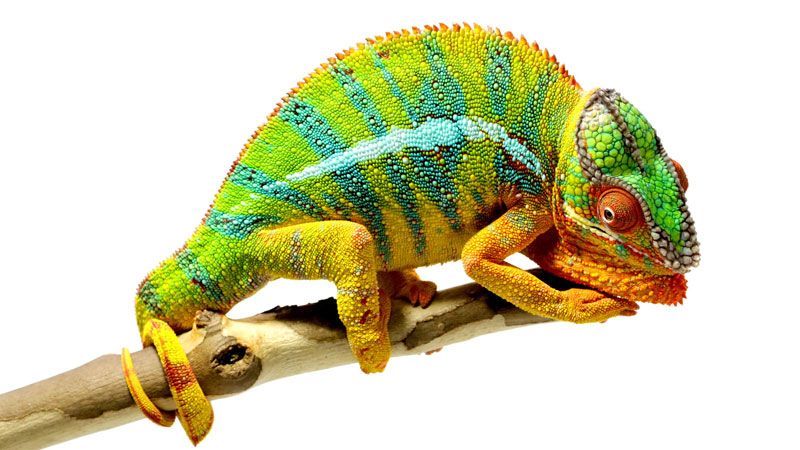 Fascinating Facts About Chameleons by National Geographic ...
