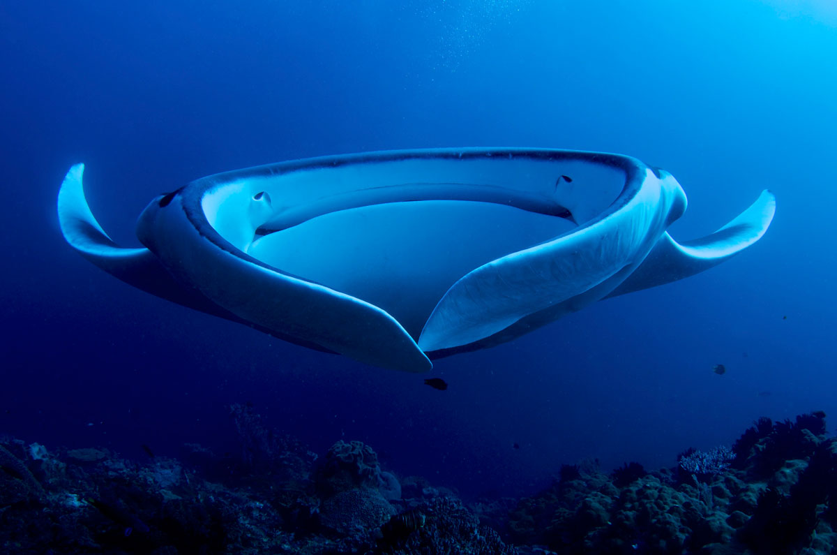 giant manta ray filter feeding twistedsifter. Black Bedroom Furniture Sets. Home Design Ideas