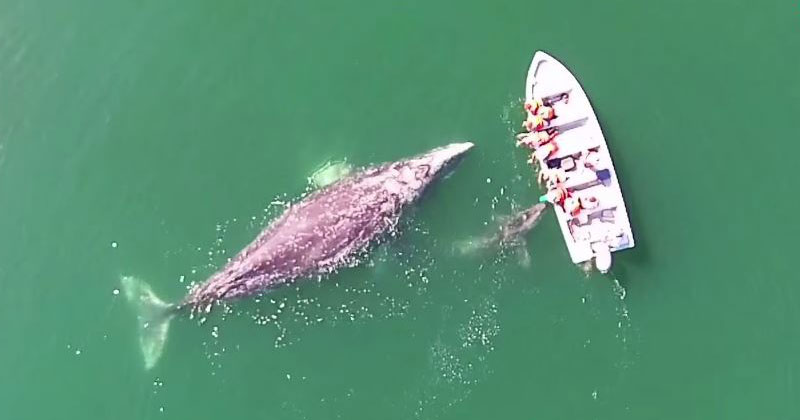 Gray Whale and Her Calf Give Whale Watchers an Experience They'll Never Forget