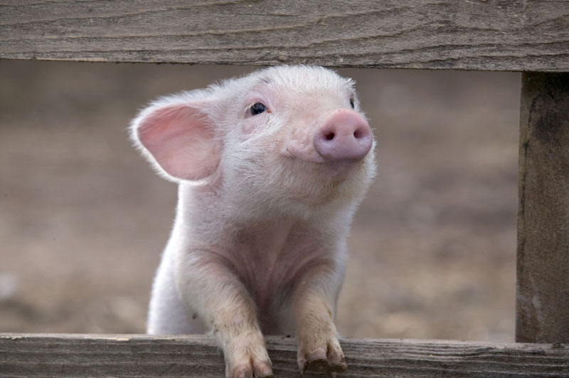 happy pig smiling The Shirk Report   Volume 330