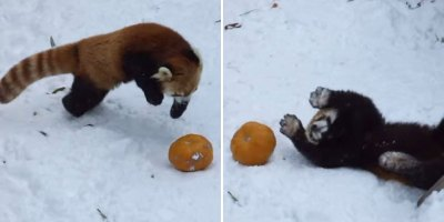 Red Panda Takes On Its Greatest FoeYet
