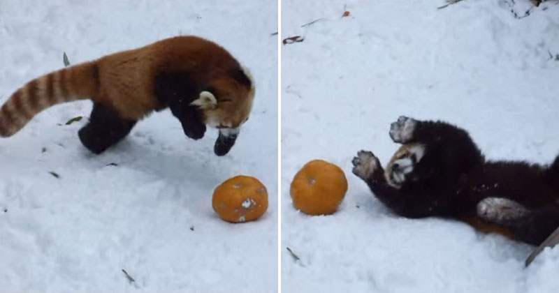 Red Panda Takes On Its Greatest Foe Yet