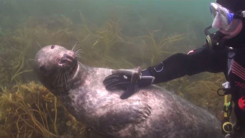 Videographer Captures Amazing Interaction Between Seal and Diver