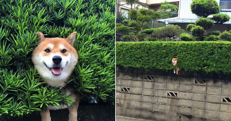 Just a Shiba Inu Chilling in a Random Bush in Japan