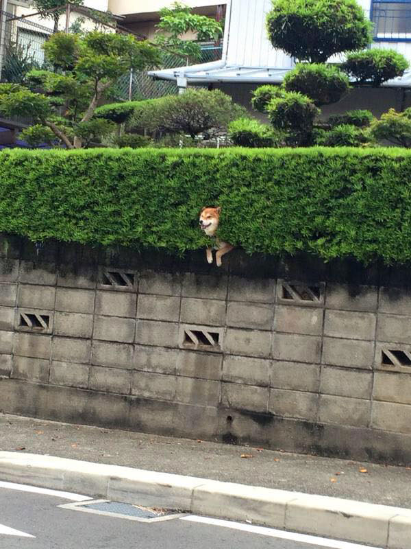 shiba stuck in bush 3 Just a Shiba Inu Chilling in a Random Bush in Japan
