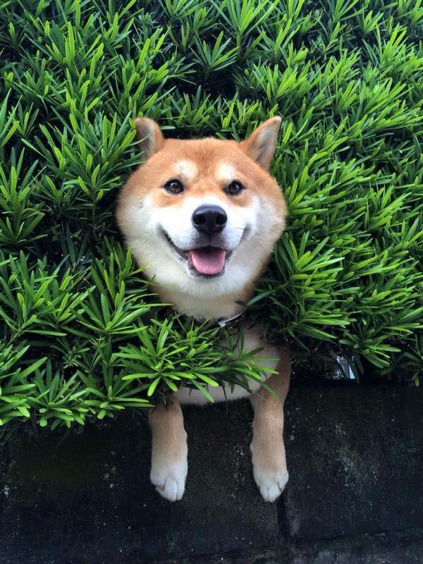shiba stuck in bush Just a Shiba Inu Chilling in a Random Bush in Japan