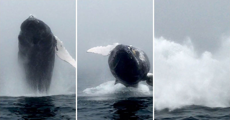 Whale Watcher Captures Unbelievable Close-Up of a Breaching Humpback