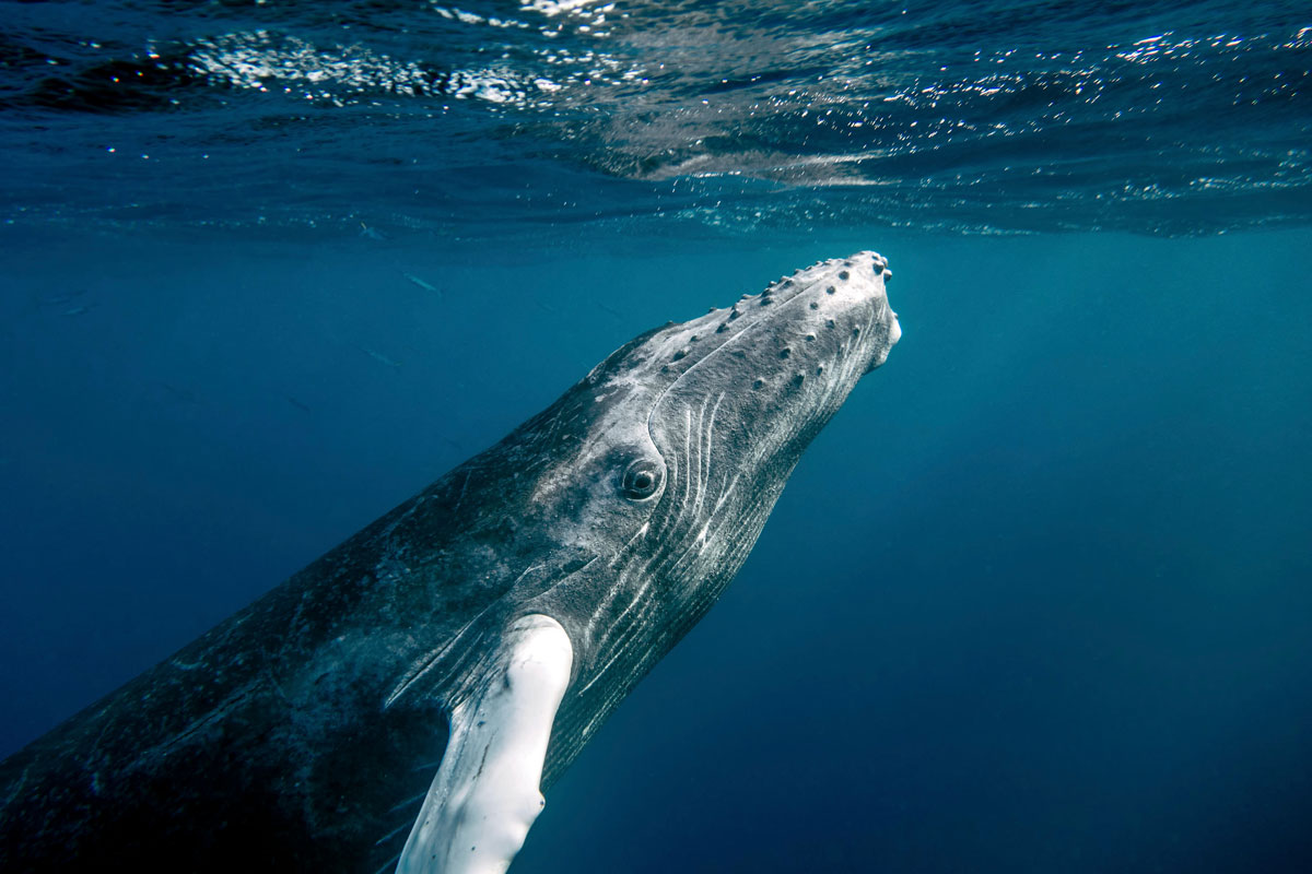 Baby Humpback Prepares to Surface christopher michel