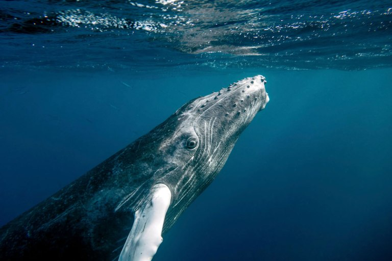 Baby Humpback Prepares to Surface