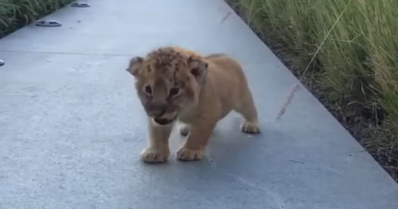 Just Listen to This Baby Lion's Roar