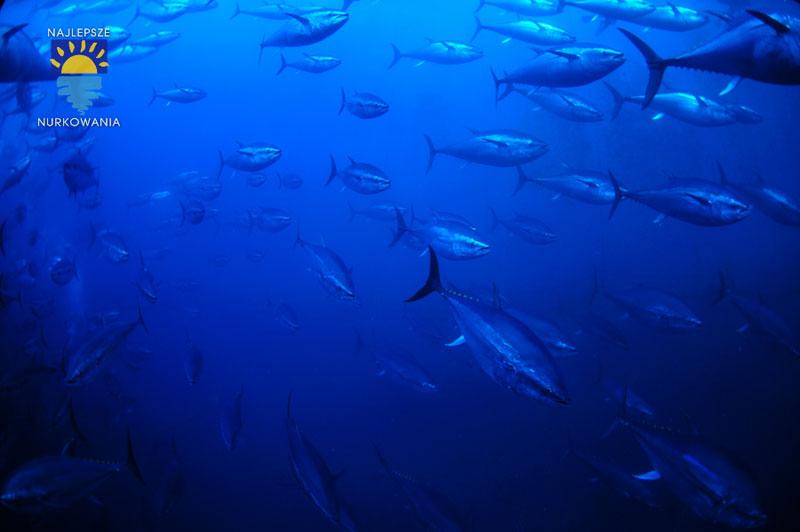 diving with bluefin tuna in malta by Bartosz Cieslak (10)