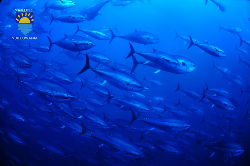 diving with bluefin tuna in malta by Bartosz Cieslak (2)
