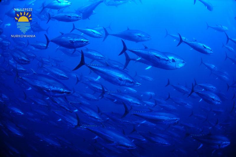 diving with bluefin tuna in malta by Bartosz Cieslak (2)
