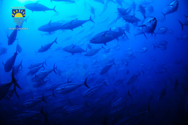 diving with bluefin tuna in malta by Bartosz Cieslak (4)