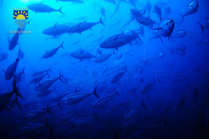 diving with bluefin tuna in malta by Bartosz Cieslak (4)
