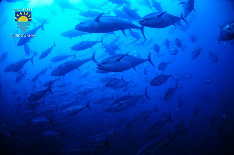diving with bluefin tuna in malta by Bartosz Cieslak (9)