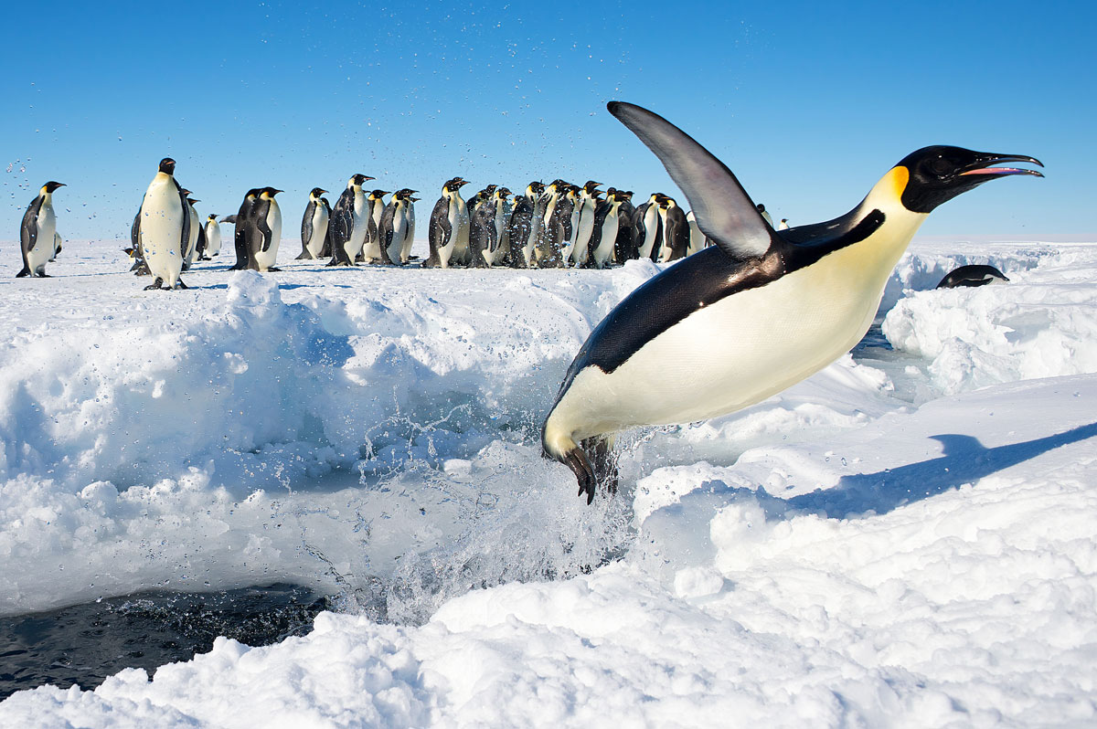 emperor penguin flying out of water antarctica christopher michele Picture of the Day: The Flying Emperor