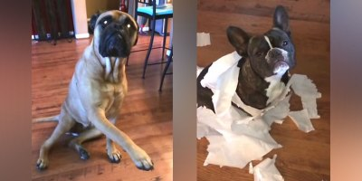 French Bulldog Gets Outed by Bullmastiff