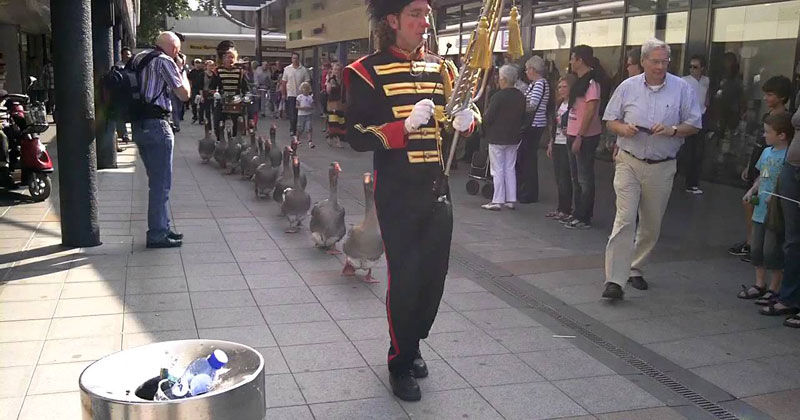 geese-walking-through-streets-with-their-own-marching-band