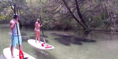 8 Manatees Swim Past Paddleboarders in Shallow, Crystal ClearWater
