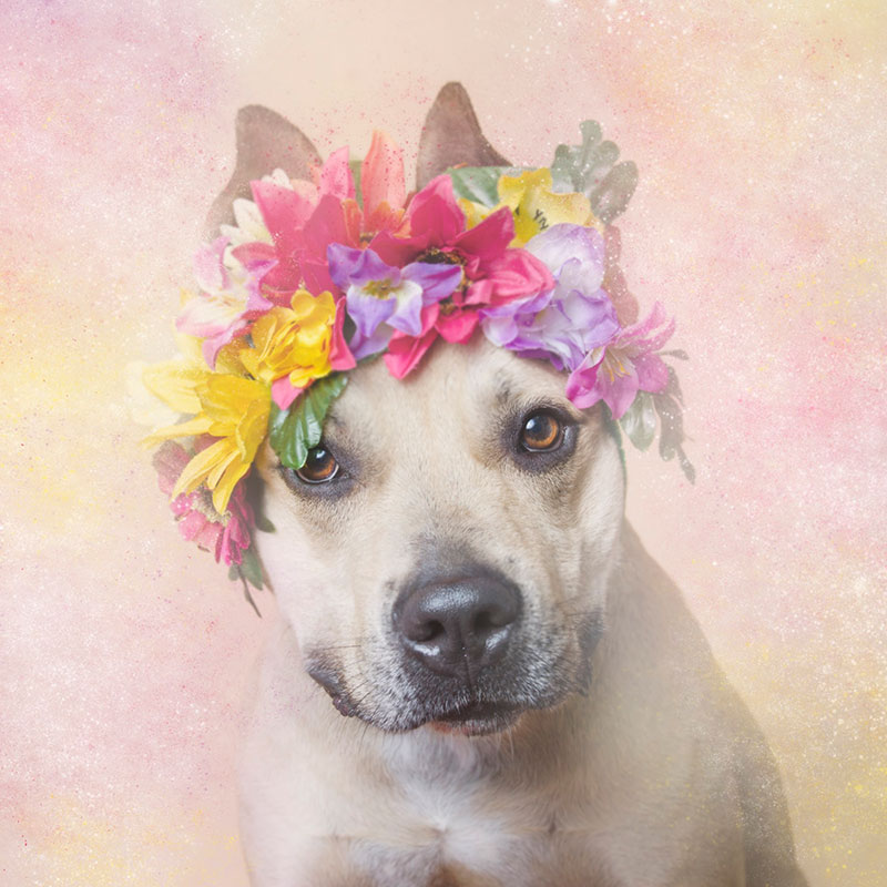 valentino Flower Power: Adorable Portraits of Pit Bulls Waiting to Be Adopted