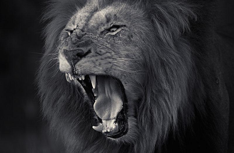 Photographer Captures Ferocity of a Lion's Roar «TwistedSifter