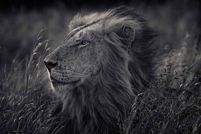 black and white animal portraits by antti viitala (2)