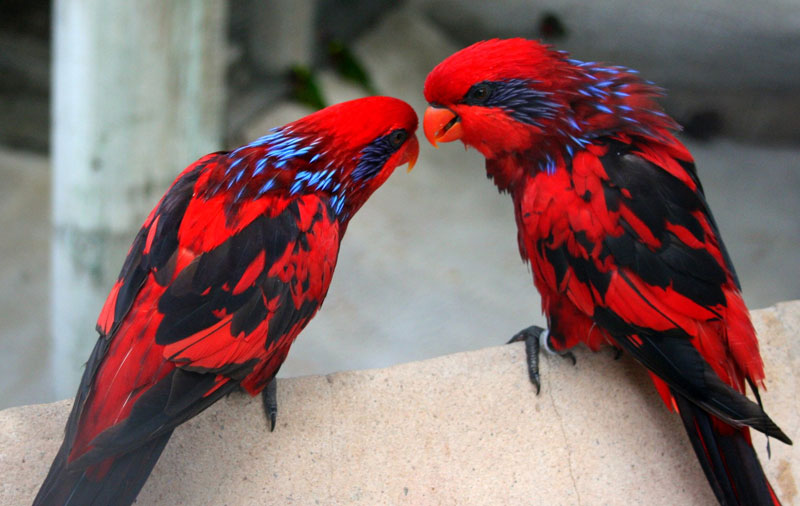 blue streaked lories Picture of the Day: Blue Streaked Lories