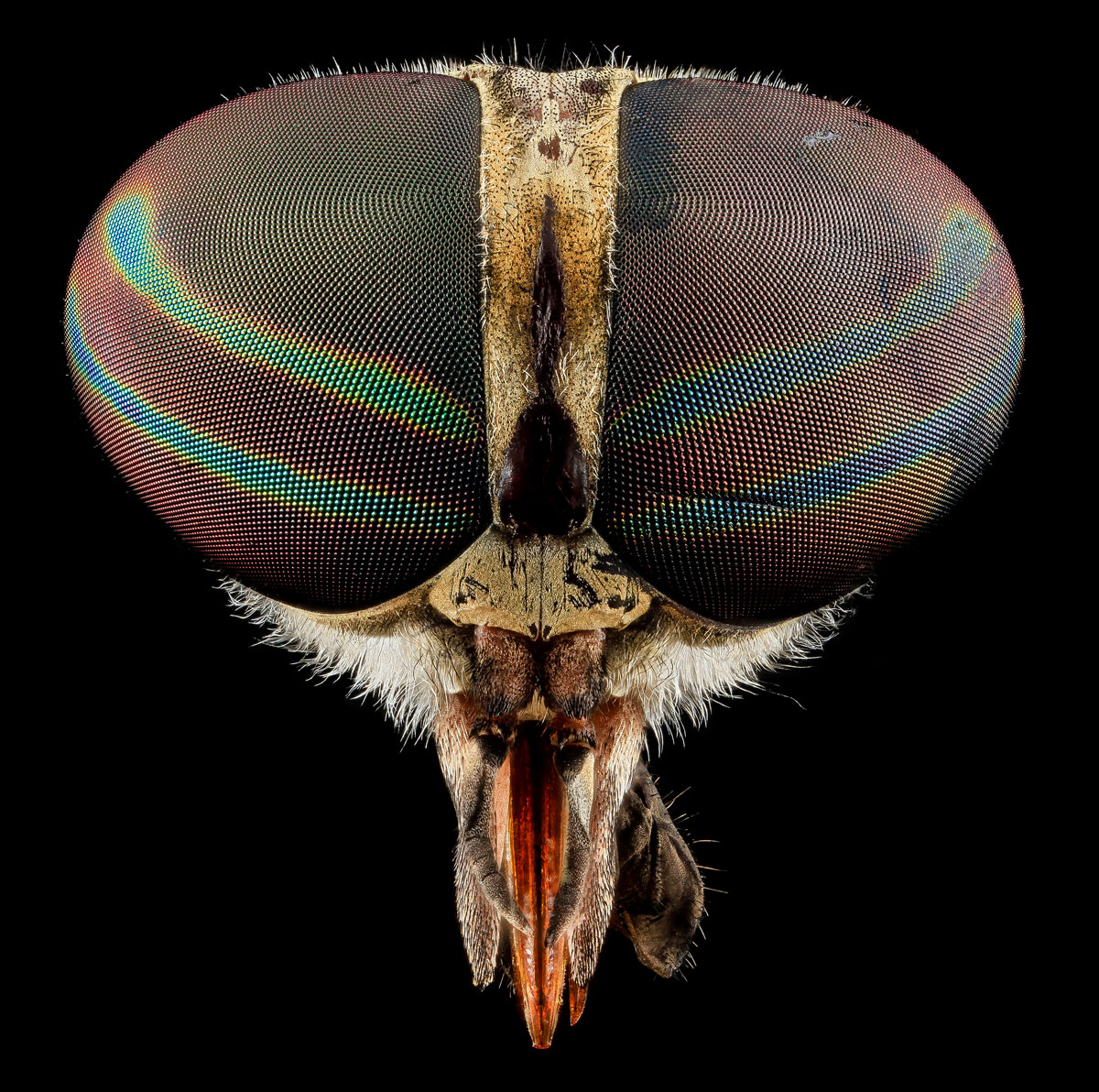 Close-Ups of Insect Eyes by usgs biml (6)