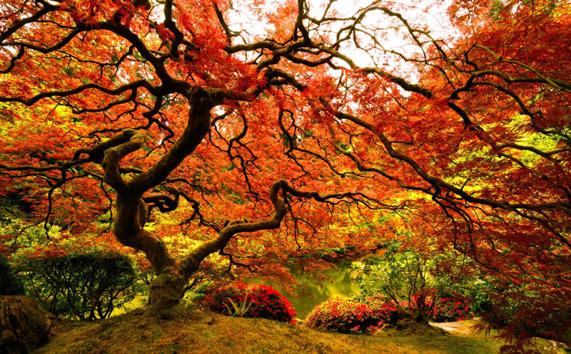 Picture of the day japanese maple at the portland for Japanese garden colors