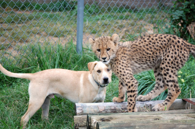 Kumbali and Kago Cheetah Cub and Puppy Friendship metro richmond zoo (1)