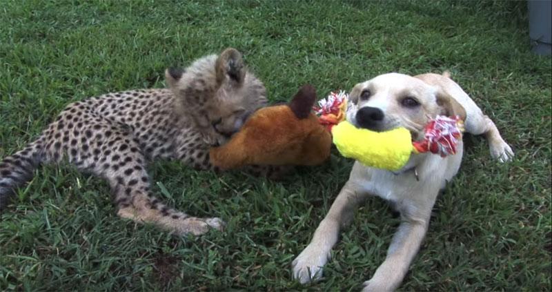 Kumbali and Kago Cheetah Cub and Puppy Friendship metro richmond zoo (12)