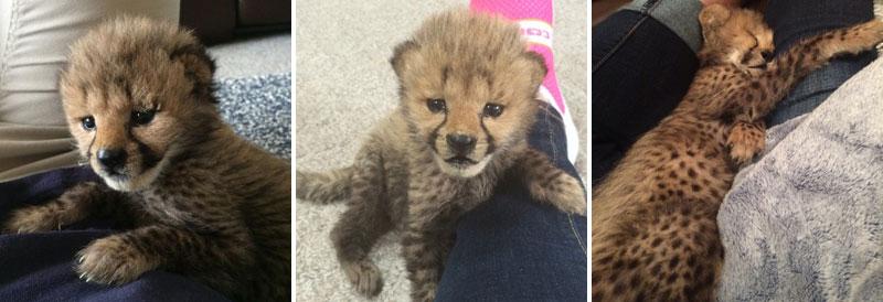 Kumbali and Kago Cheetah Cub and Puppy Friendship metro richmond zoo (14)