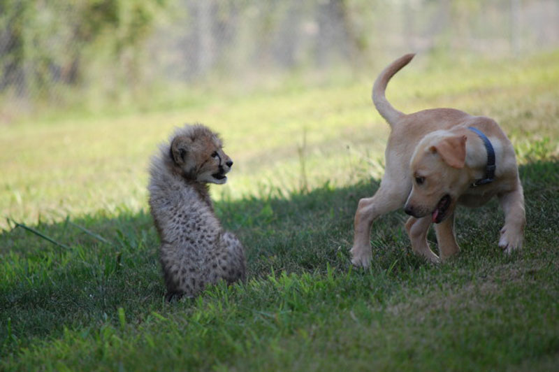 Kumbali and Kago Cheetah Cub and Puppy Friendship metro richmond zoo (2)