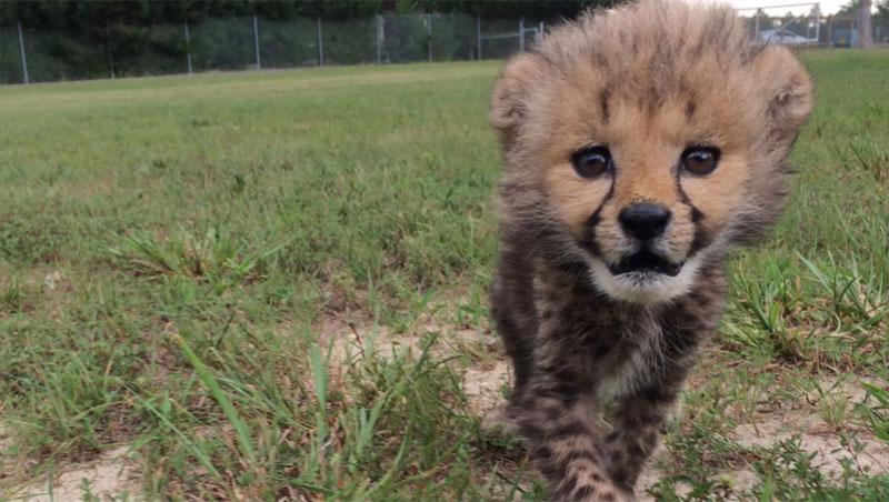 Kumbali and Kago Cheetah Cub and Puppy Friendship metro richmond zoo (6)