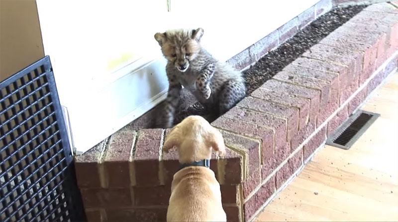 Kumbali and Kago Cheetah Cub and Puppy Friendship metro richmond zoo (9)