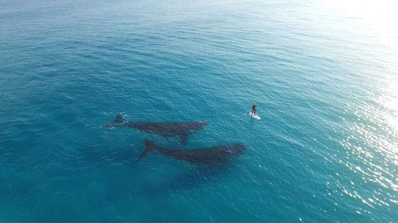 4K Paddleboarding With Whales in Australia