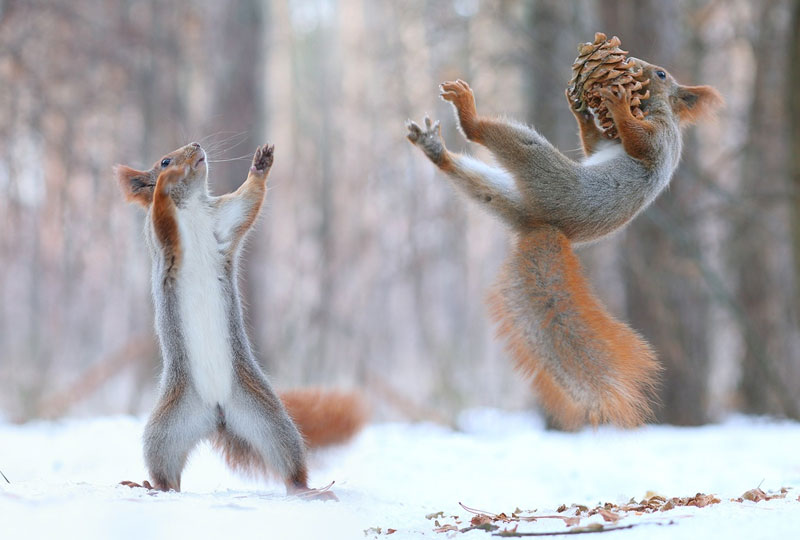 squirrel snowball fight photos by vadim trunov (10)
