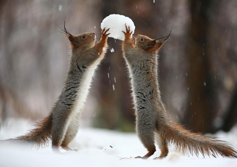squirrel snowball fight photos by vadim trunov (2)