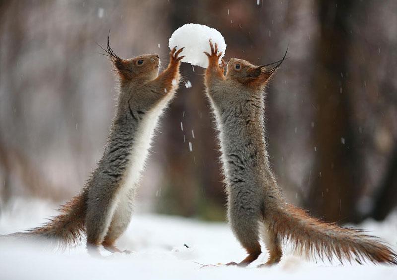 squirrel snowball fight photos by vadim trunov (2)