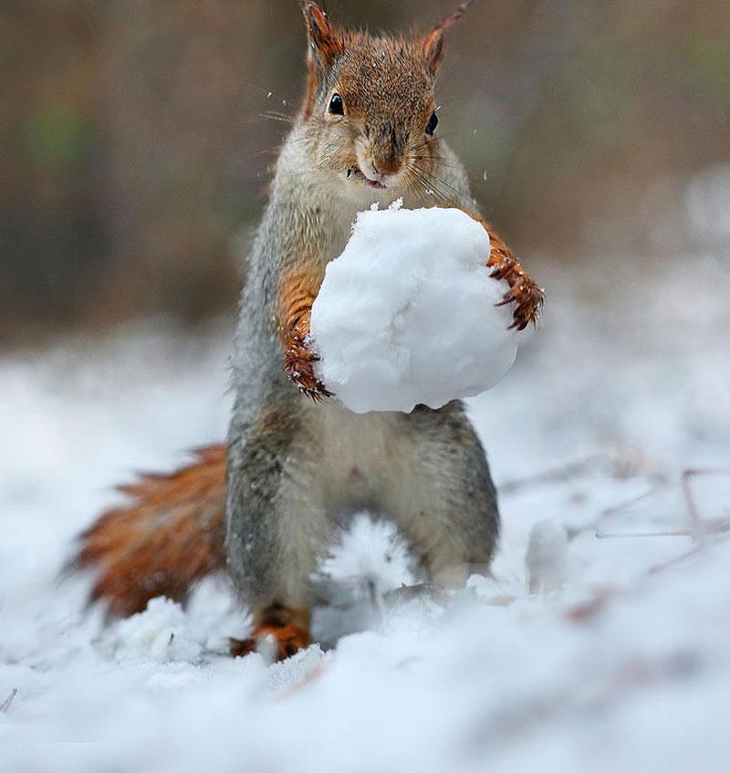 squirrel snowball fight photos by vadim trunov (3)