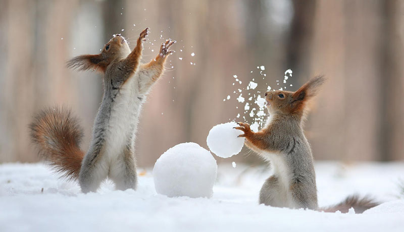 squirrel snowball fight photos by vadim trunov (5)