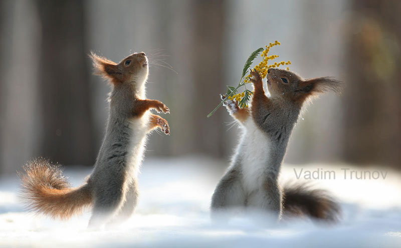 squirrel snowball fight photos by vadim trunov (6)