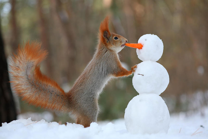 squirrel snowball fight photos by vadim trunov (8)