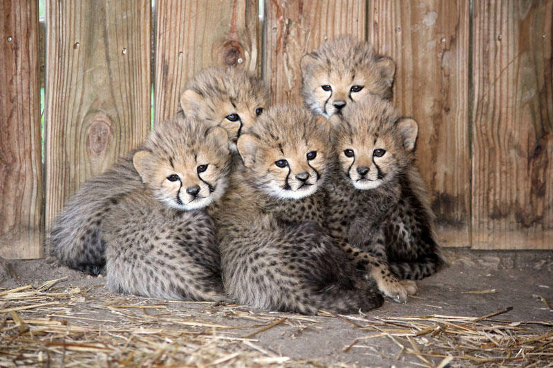 5 Little Cheetah Cubs