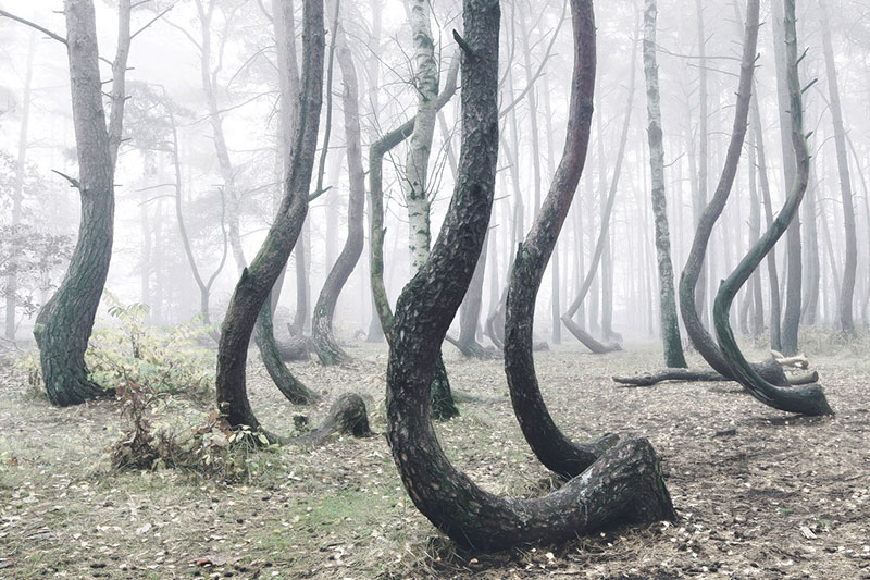 crooked forest in poland by Kilian Schoenberger (1)