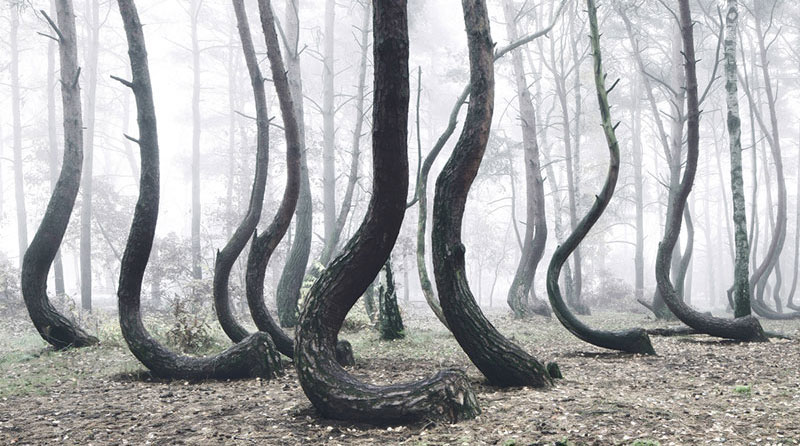 There's a Forest in Poland with Crooked Trees and Nobody Knows Why